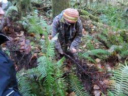 cedar root harvest georgieweb