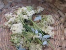 Meadowsweet harvests