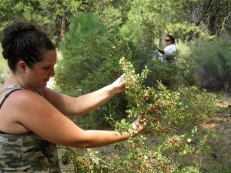 Klamath Tribe Traditional Plants Program- harvesting golden currants