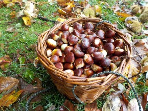 Sweet chestnut harvest