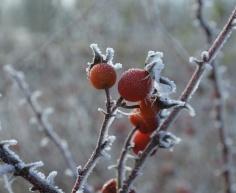 ropi-frostsmall