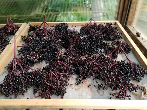 Elderberry harvest