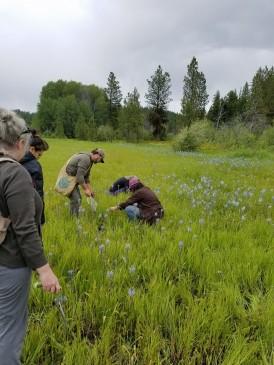 Camas prairie harvests
