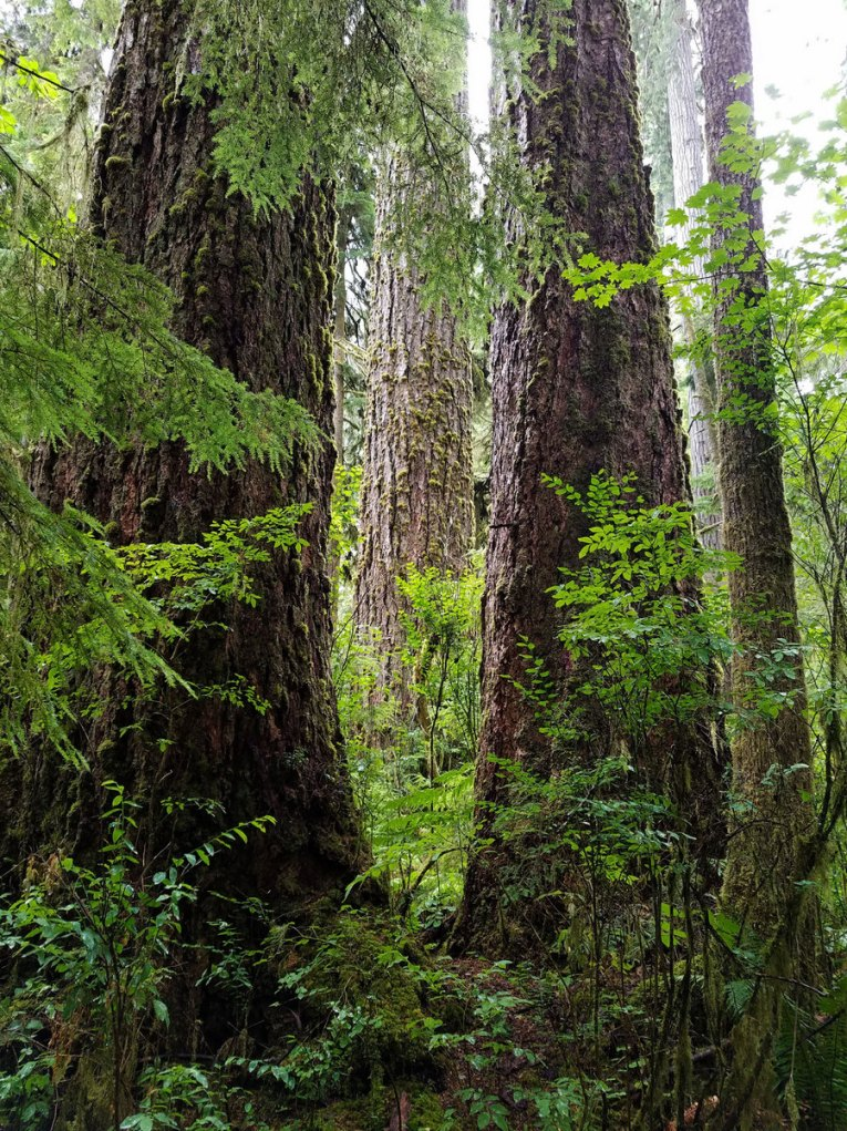 webExpedition old growth quiinalt 2