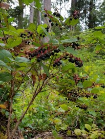 Expedition Salal harvests