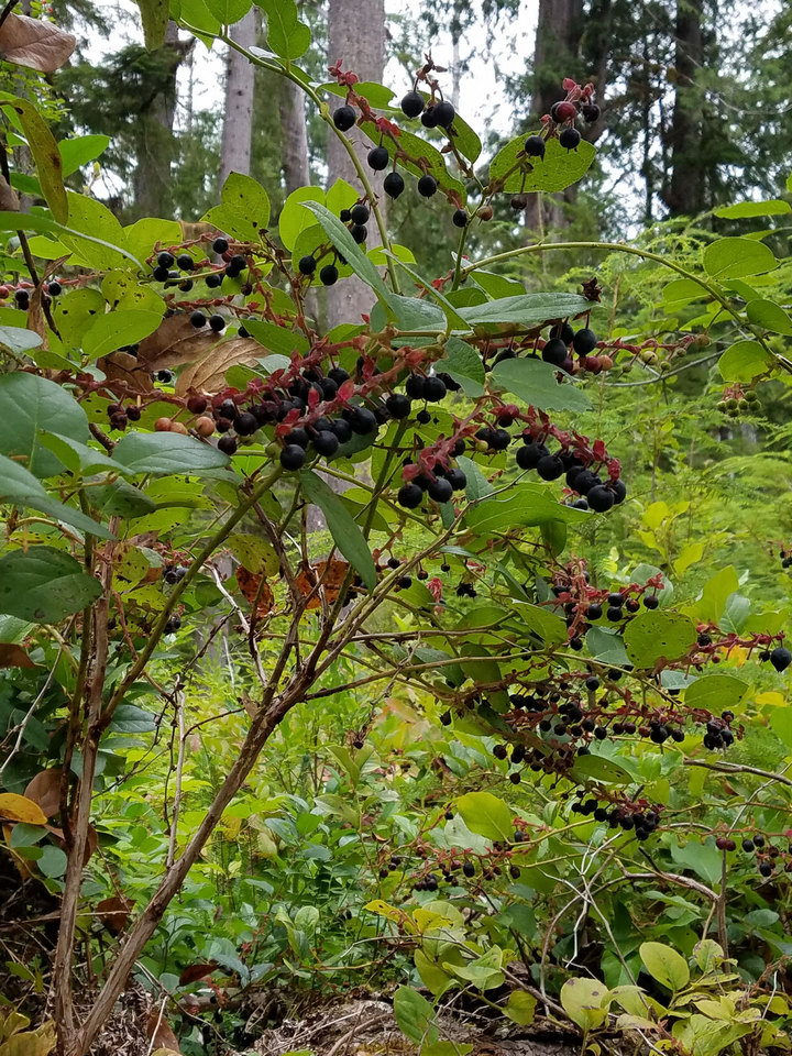 webExpedition Salal harvests