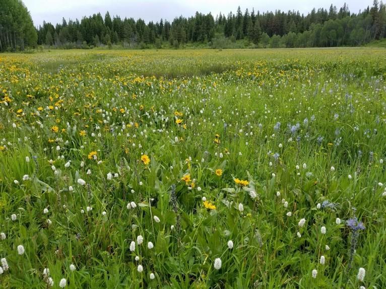 webXCCamas meadow