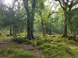 Oldwood ancient oaks, holly and moss