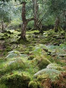Oldwood oaks bracken ivy and moss