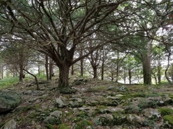 Ancient Yew grove on limestone