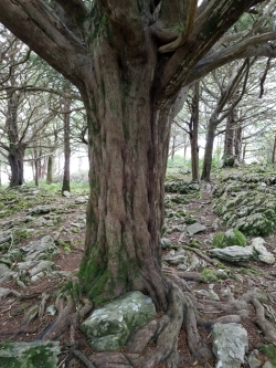 Yew tree with seat I sat in for a while