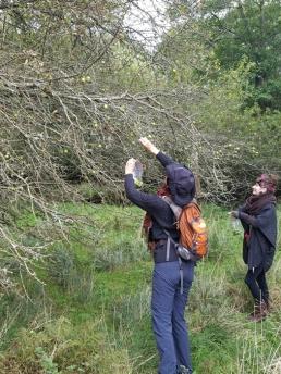Hedgerow harvesting crabapple