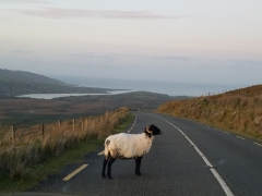 Sheep on the road Dingle