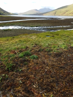 Seaweed at low tide Leenane