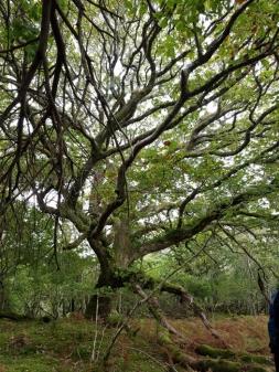 Oldwood ancient oak