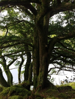 Oldwood yew tree