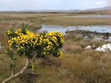 Roundstone bog and gorse