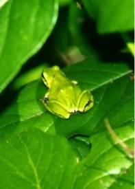 Pacific c frog camouglage