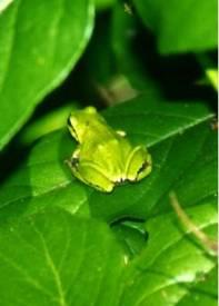 Pacific c frog camouglage