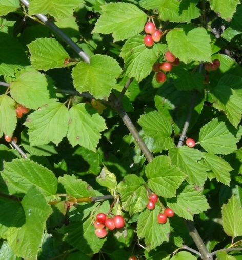 Berries V. edule