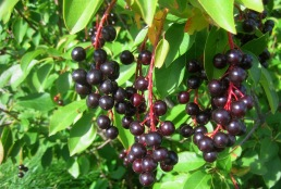 Native-Chokecherry other