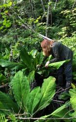 7 Harvesting swamp lantern me x Katieweb